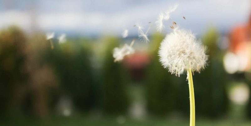 dandelion blowing seeds in the wind in the garden